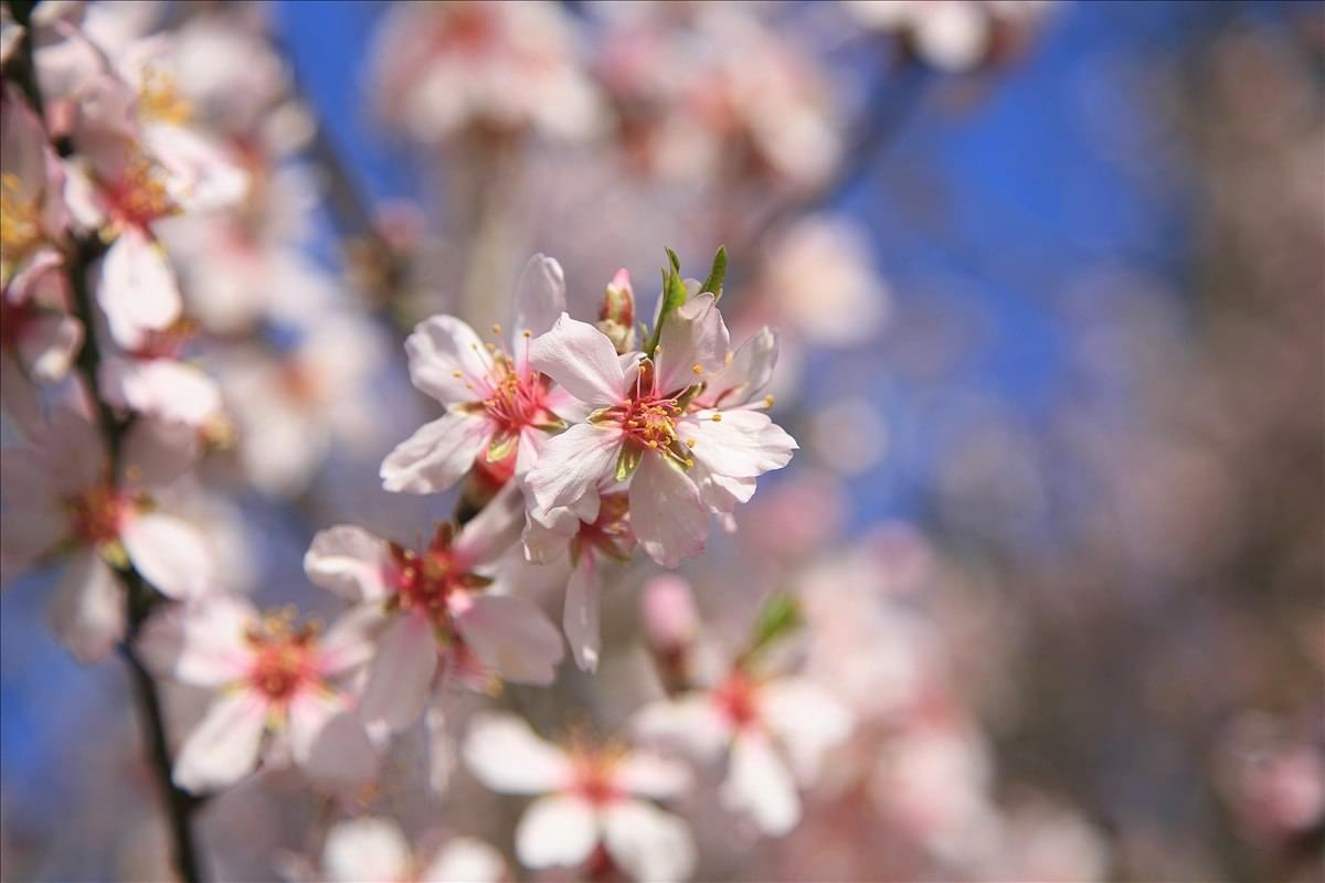 Photo tours in Crimea - almond blossom