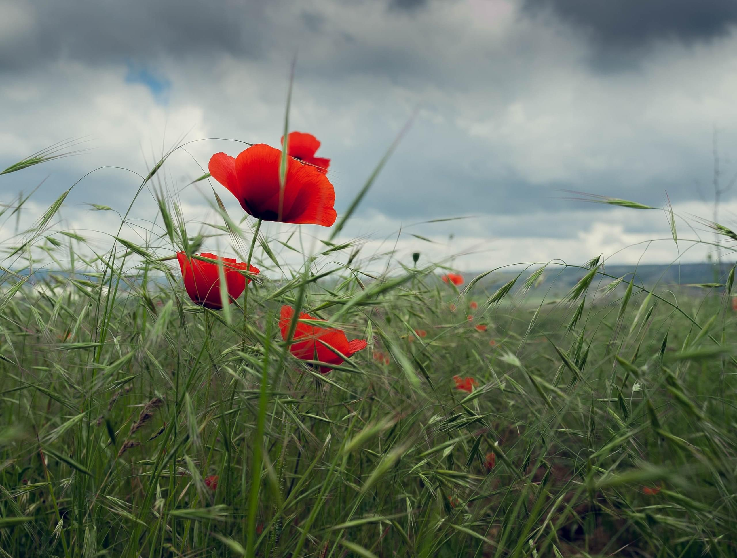 Photo tours in Crimea in May - flowering wild poppies (3)