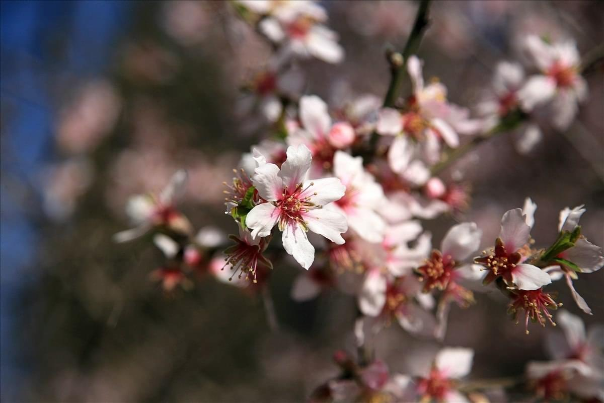 hiking in the Crimea - macro - almond blossom (2)