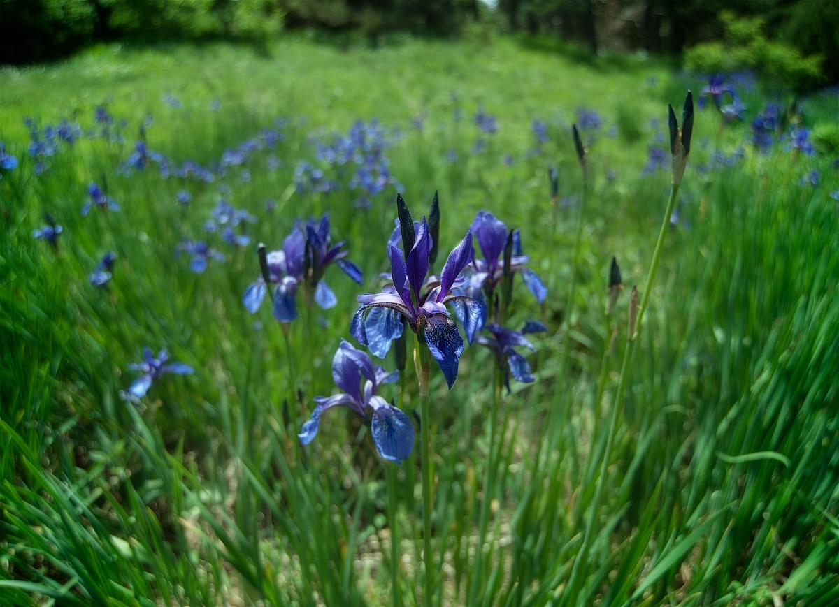 photo tours of the Crimea - macro - blooming irises on Demerdzhi
